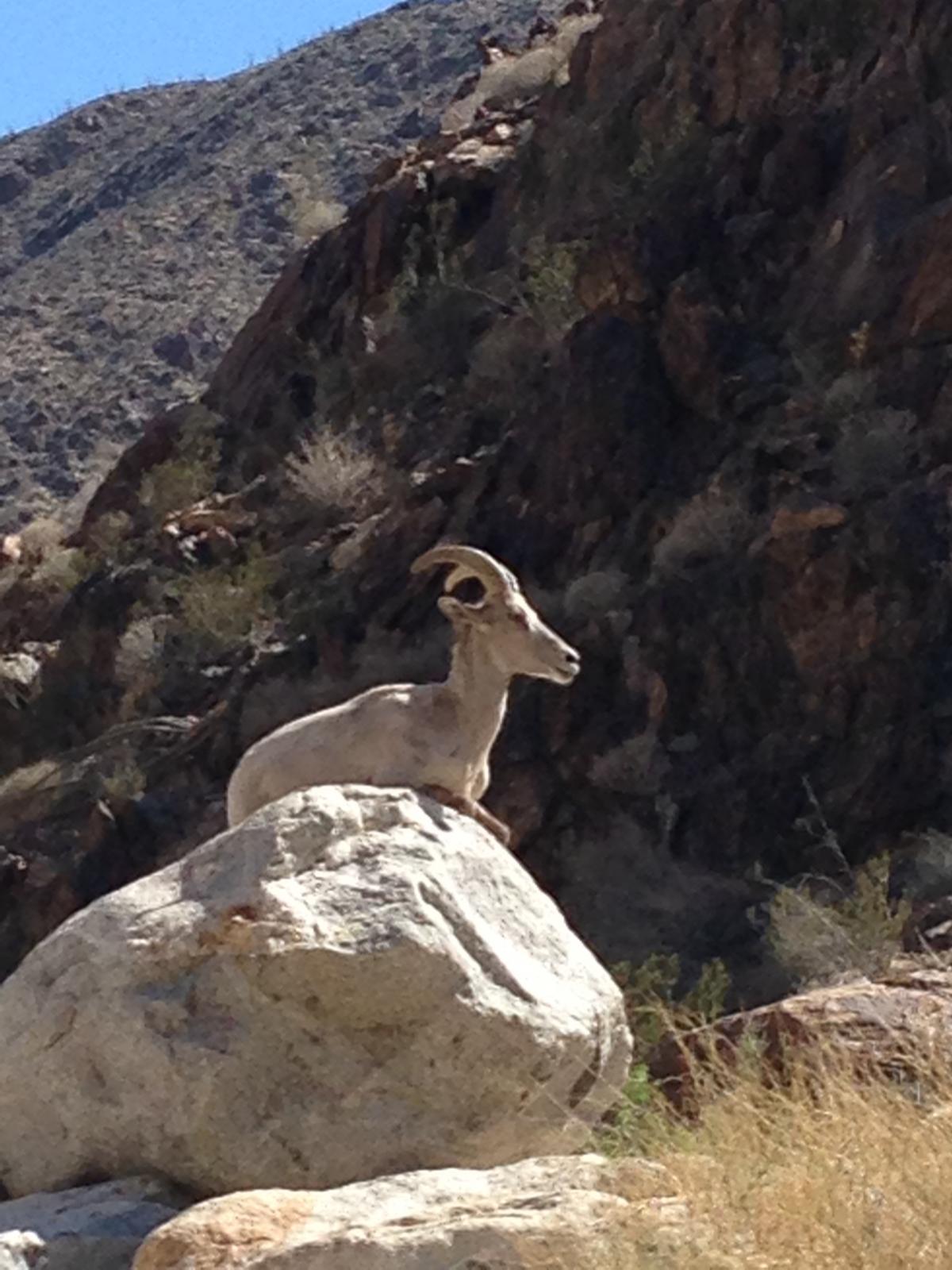 Anza Borrego - Borrego (Big Horn Sheep)